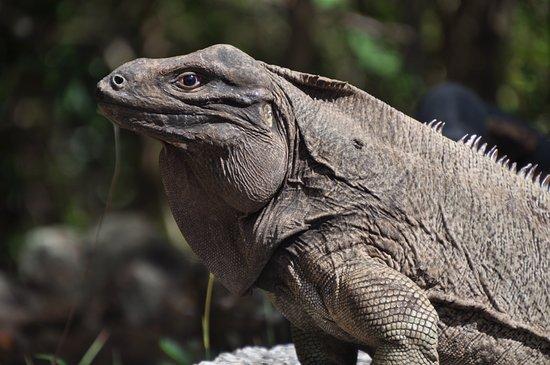 Guana Island: Iguana