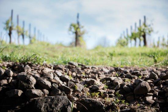 Soil & vines at Limerick Lane Cellars