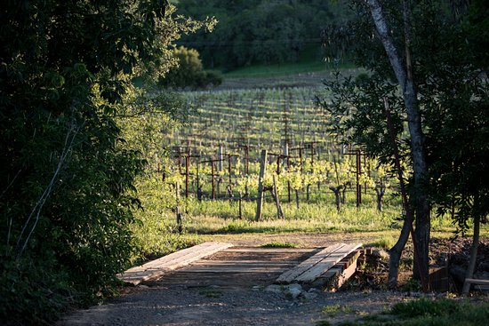 Syrah & Grenache vines at Limerick Lane Cellars