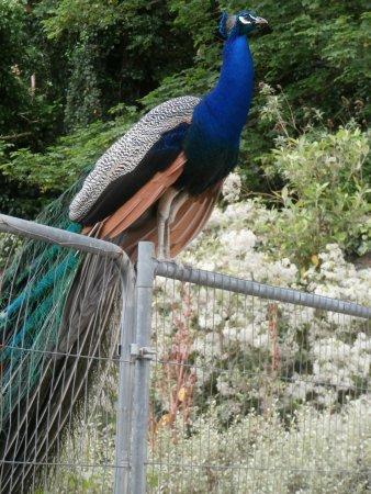 Malahide, Irlandia: A beautiful Peacock