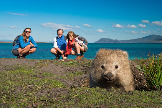wombat capital Maria Island, the Wombat capital of the world. - Picture of The ...