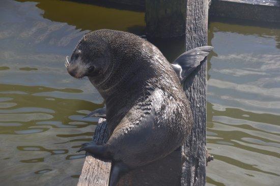 Goolwa, Australia: Seal sun baking on Barrage