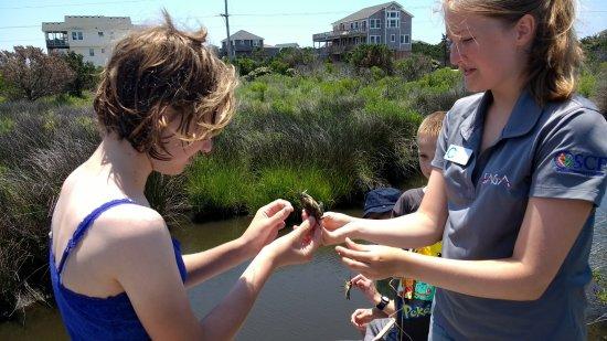 Hatteras, Carolina del Norte: Marsh Madness - identifying gender of blue crabs