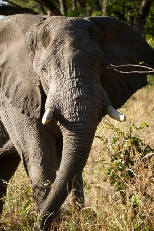 Linyanti Reserve, Botswana: Close encounter with an elephant