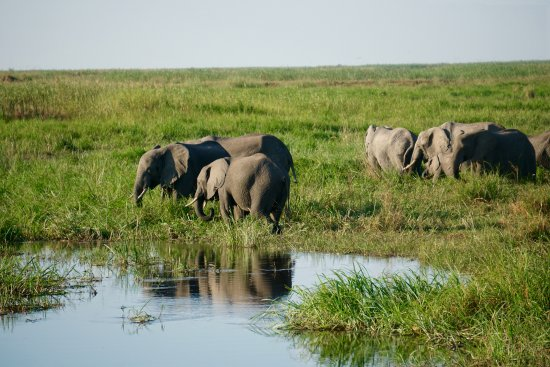 Linyanti Bush Camp: Elephants in the marsh at sunset