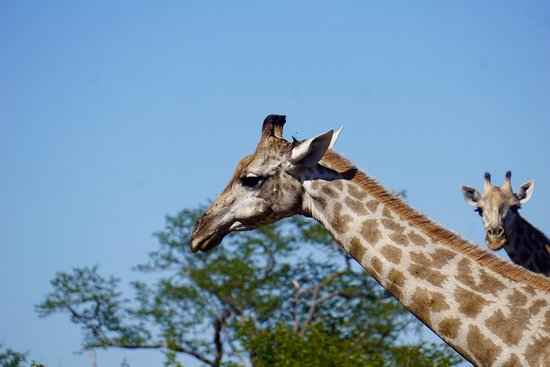 Linyanti Bush Camp: Giraffe sightings