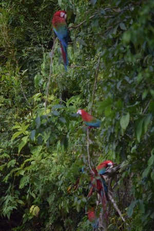 Posada Amazonas: Macaws at clay lick - yes it can happen even in June!