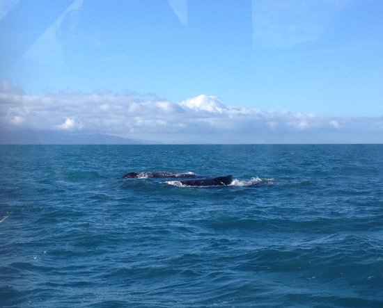 Picton, New Zealand: Whales surfacing in Cook Strait