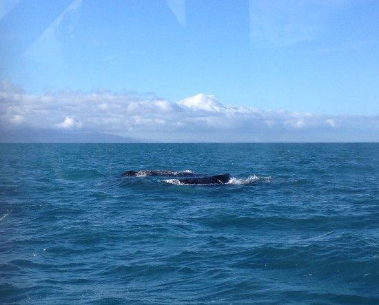 Пиктон, Новая Зеландия: Whales surfacing in Cook Strait
