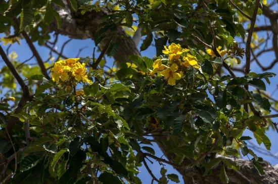 Pretty Yellow Flowers Of A Nile Tulip Tree Markhamia Lutea