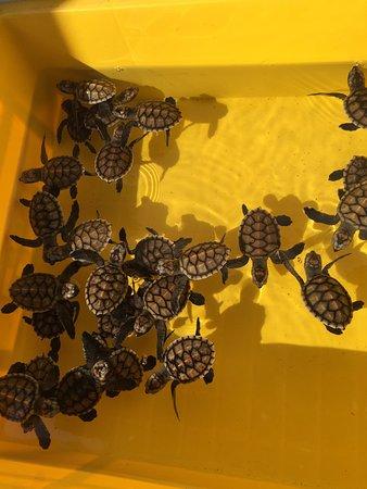 Angsana Bintan: Baby Turtles
