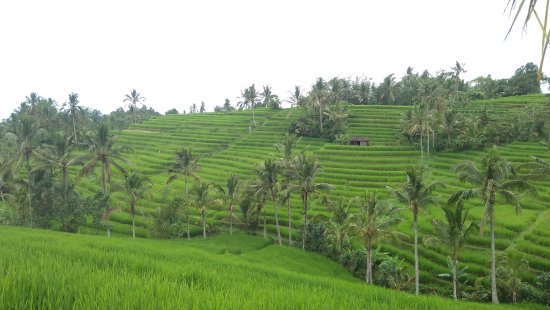 Jatiluwih Green Land: is a favorite tourist destination in Bali famous with the beautiful rice terrace