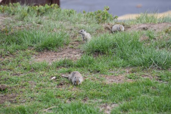 McGregor Mountain Lodge: The ground squirrels provide a lot of entertainment