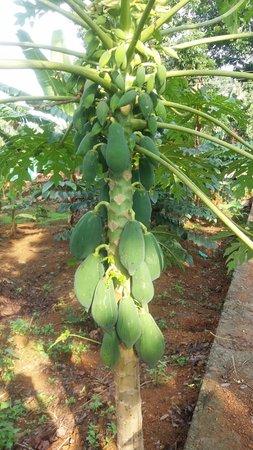 Yogalife Homestay: arbre à papaye