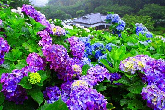Miyakonojo, ญี่ปุ่น: 雨のあじさい公園1