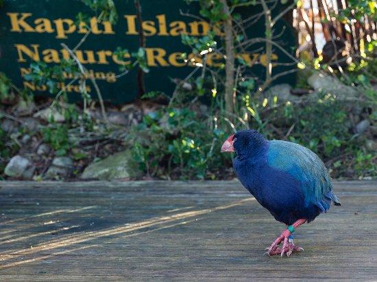 Paraparaumu, Nueva Zelanda: Takahe on the deck at Waiorua Lodge.