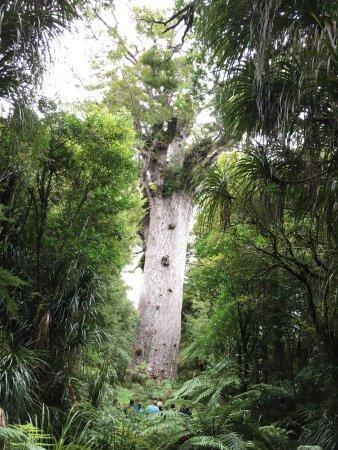 Opononi, Selandia Baru: magnificent tree