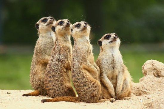 Bedale, UK: Meerkats at Thorp Perrow