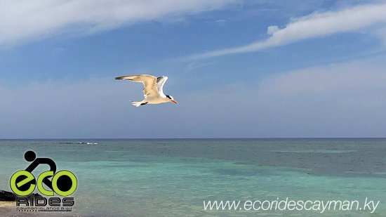 """East End, Grand Cayman: A Royal Tern, what locals call """"Sprat Bird"""" caught flying by at Barefoot Beach. Amazing things y"""