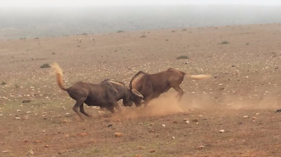Garden Route Game Lodge: Wildebeest clashing