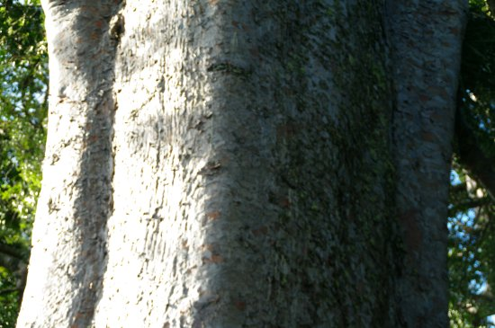 Coromandel, Nya Zeeland: Detail of the sqare kauri.