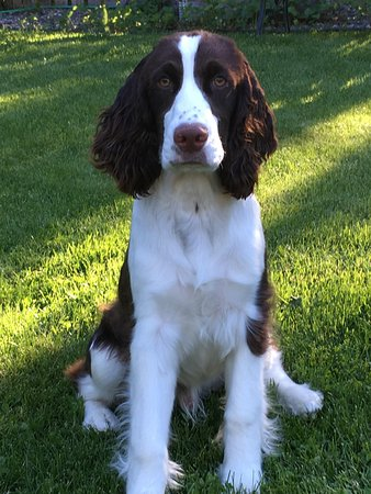 Arbor Bed and Breakfast: Meet Dashiell our new Springer Spaniel
