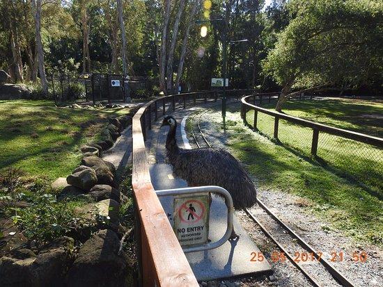 Currumbin, Australia: Emu on track !