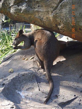 Currumbin, Australia: Wallaby