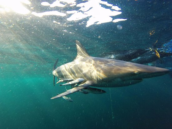 Blue Wilderness Shark Adventures: Up close and personal
