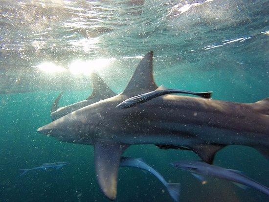 Blue Wilderness Shark Adventures: A ton of sharks