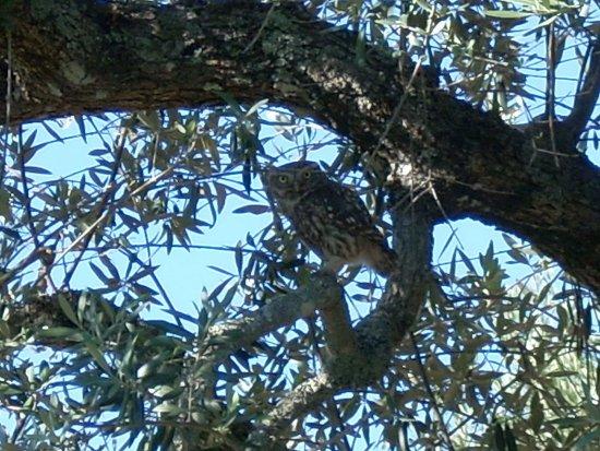 Portalegre, Portogallo: A Little Owl in one of the Quinta's olive trees.