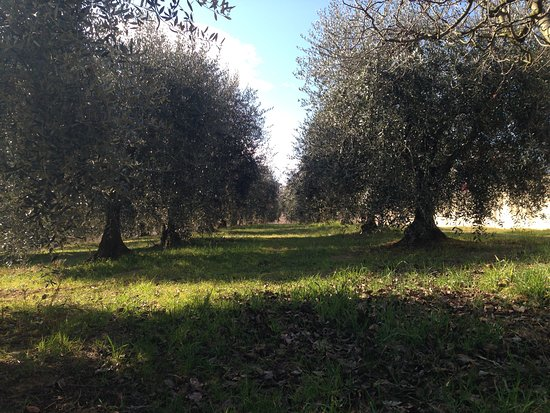 lots of olives and green spaces at l'Albergaccio