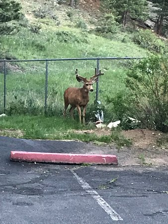 Colorado City, CO: deer in the parking lot