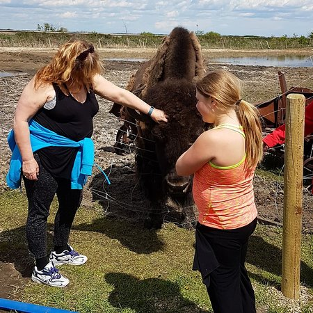 Lloydminster, Canada : Meeting a bison that loves to have his head scratched