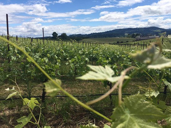 Newberg, OR: Vineyard views