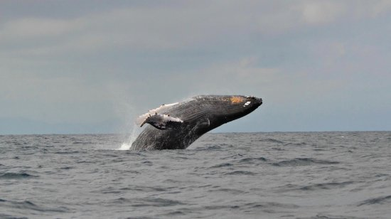 La Libertad, Ecuador: Whales are not afraid or intimidated by this sailing yacht... They are actually curious. Fabulou