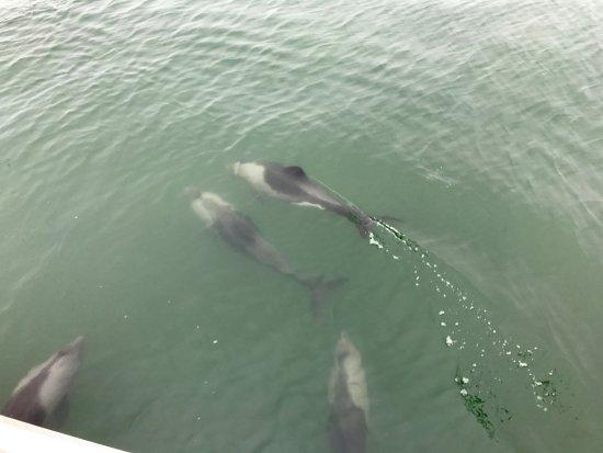 Γουάλβις Μπέι, Ναμίμπια: pods of dolphins