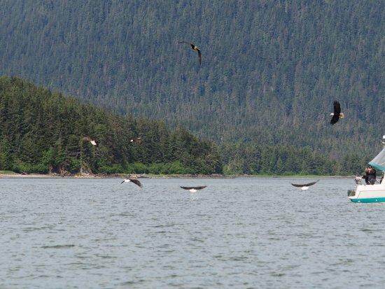 Harv and Marv's Outback Alaska: Eagles everywhere