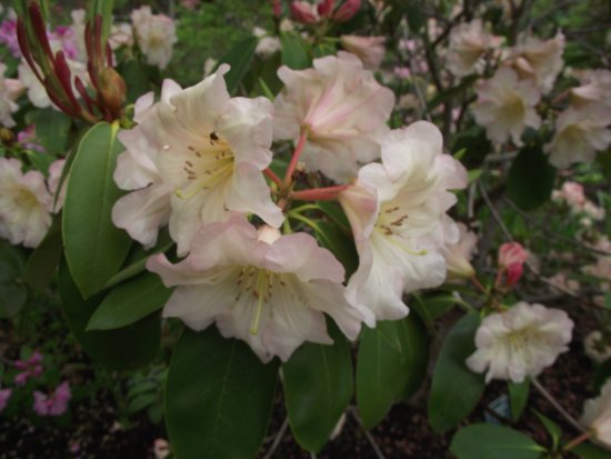 COASTAL MAINE BOTANICAL GARDENS - BOOTHBAY, MAINE - HAL BRUCE RHODODENDRON