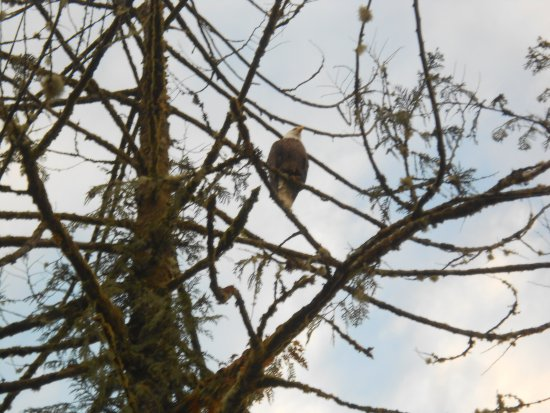 Port Renfrew, Canadá: A bald eagle in a tree at the end of the wharf.