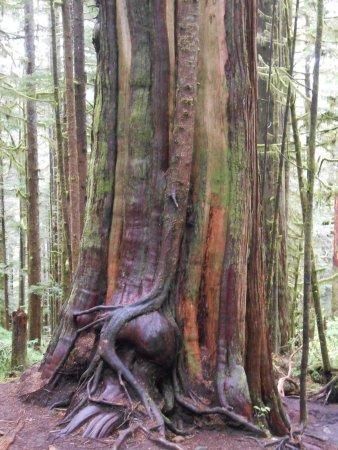 Port Renfrew, Canadá: A tree at Avatar Grove