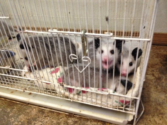 Smithfield, IL: possums
