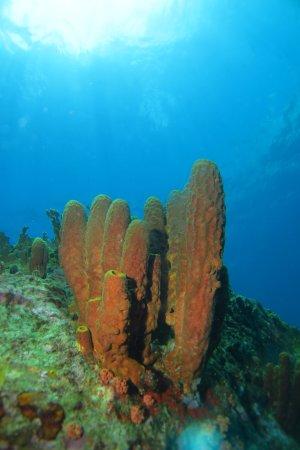 Bouillante, Guadeloupe: éponges