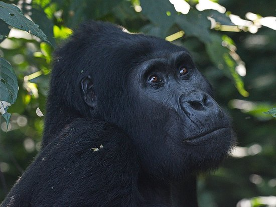Bwindi Impenetrable National Park, Uganda: Silverback in Bwindi