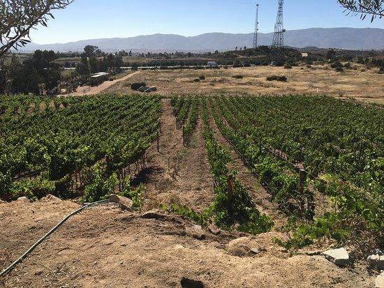 Valle de Guadalupe, Messico: Grape Vines