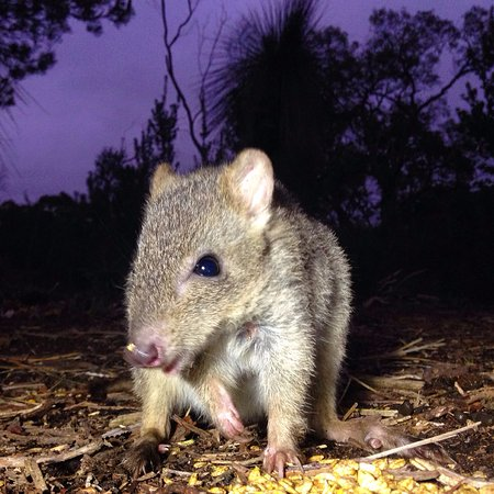 Dunsborough, Australien: The critically endangered Woylie seen on our nocturnal tour.