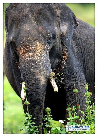 Sri Lankan Eliphant Yala National Park-2017