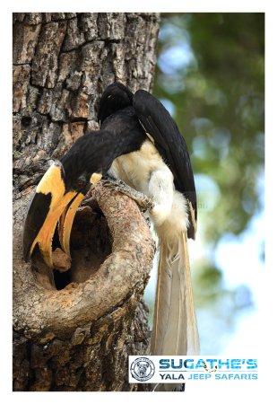 Malabar Pied Hornbill Feeding Female-Yala Yala National Park