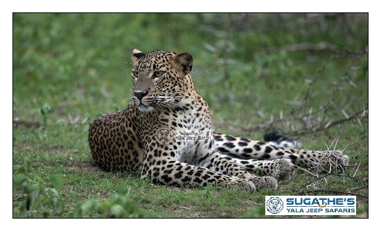 Yala National Park, Sri Lanka: Sri Lankan Leopard (Panthera pardus kotiya)-2017