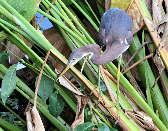 Green Cay Nature Center and Wetlands: Tricolored Heron